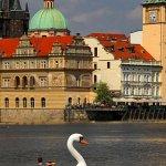 Vltavská labuť, foto: Leoš Drahota