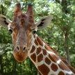 Žirafa, Brno