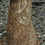 Okousaný strom