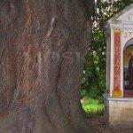 500 let stará lípa s kapličkou u Třísova