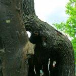 Svatováclavský dub, dutý kmen