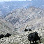 Markha valley trek – yaci