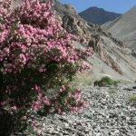Markha valley trek – růžový keř uprostřed pustiny